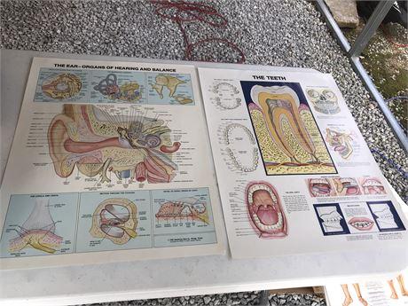 Ear and Teeth Anatomy Posters