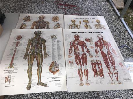 Various Anatomy Posters