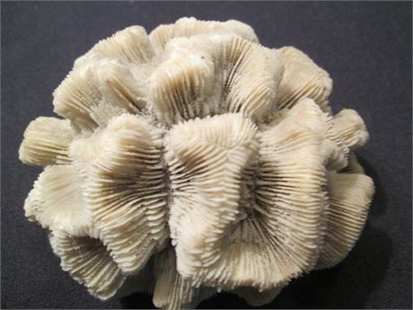 """Vintage Rare Ocean """"Brain"""" Coral Compete Section Approx 4"""""""